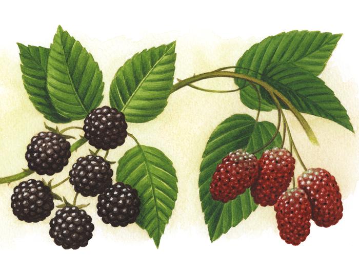 berries_lgeB
